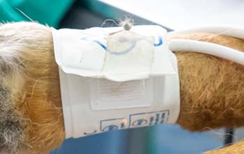 How blood pressure in dogs is measured