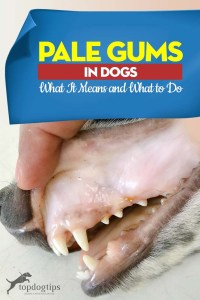 Pale Gums in Dogs Guide - What It Means and What to Do