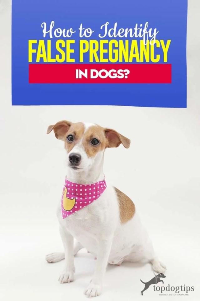 Pseudocyesis or Phantom Pregnancy in Dogs