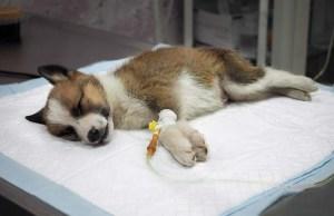 Hepatitis in Dogs - Science Based Guide