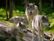 Do Dogs Really Derive From Wolves Podcast
