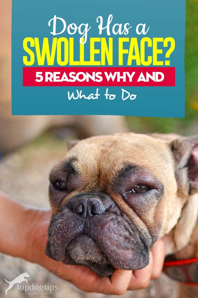 If Your Dog Has Swollen Face - 5 Reasons Why and What to Do