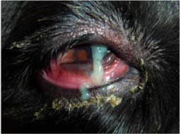 Initial stage of dry eyes in dogs
