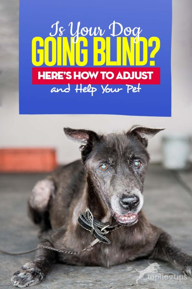 Is Your Dog Going Blind - How to Adjust and Help Your Blind Pet