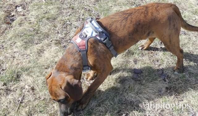 Testing the Embark dog harness