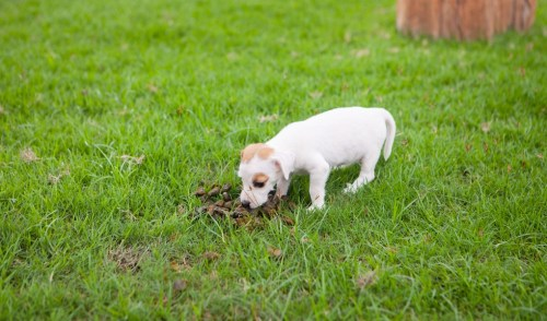 How to Stop a Puppy from Eating Poop