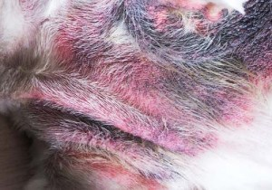Pyoderma on dog picture