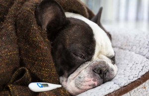 How Do I Know If My Dog Has a Fever