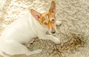 how to stop a dog from peeing on carpet