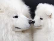 Big White Dog Breeds