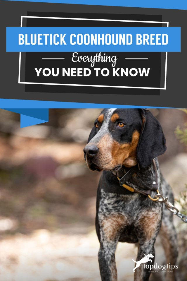 Bluetick Coonhound Breed Everything You Need To KnowBluetick Coonhound Breed Everything You Need To Know