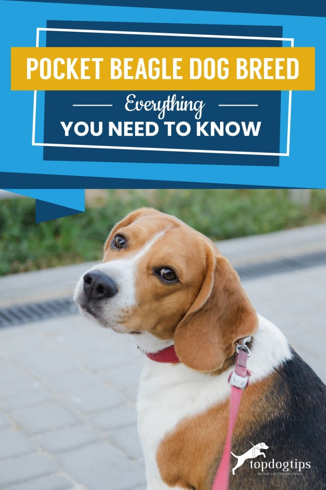 Pocket Beagle Dog Breed Everything You Need To Know