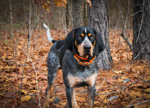 bluetick coonhound in forest