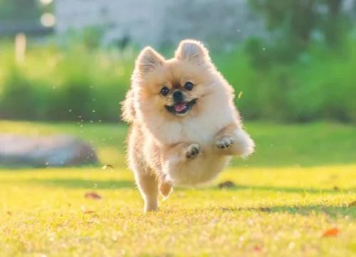 pomeranian running in field