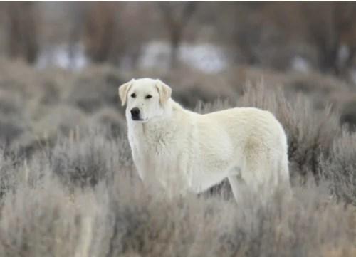 kuvasz dog standing in field during winter