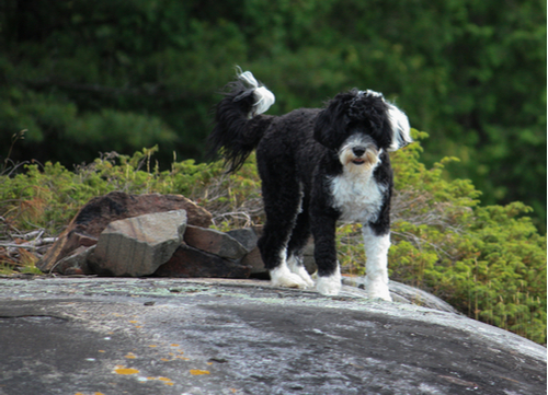 portuguese water dog standing on rock