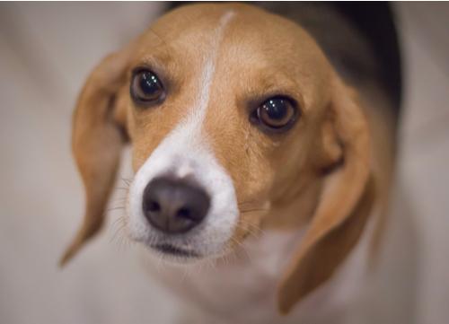 pocket beagle looking at owner