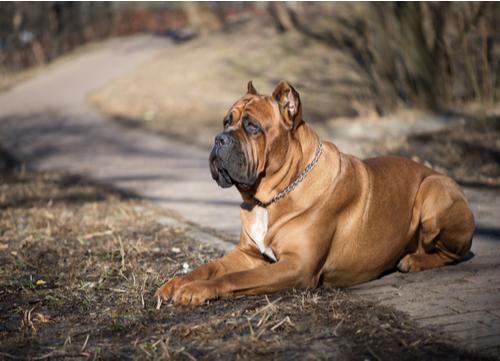 brown cane corso