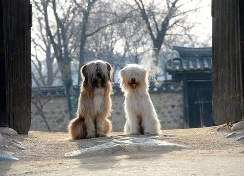 sapsali dog breed