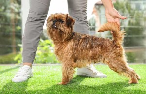 Brussels Griffon Dog Breed- Everything You Need To Know