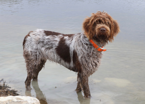 wirehaired pointing griffon standing in water