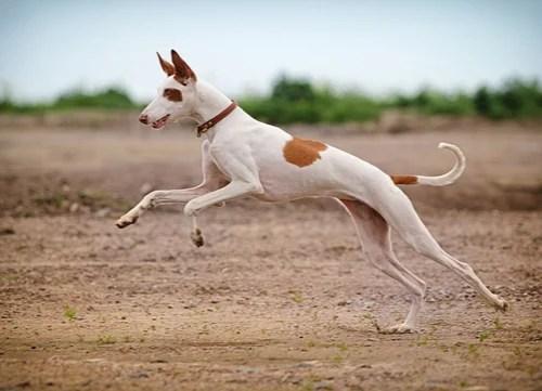 ibizan hound egyptian dog breed
