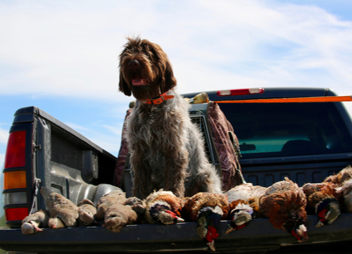 wirehaired pointing griffon hunting dog