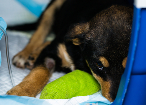 dog isolated in cage with parvovirus