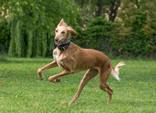 saluki egyptian dog breed running