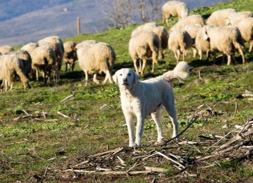 maremma sheepdog guarding sheep
