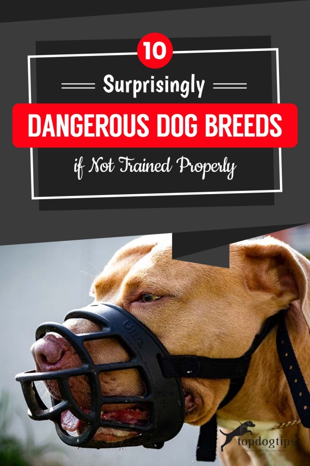 10-Surprisingly-Dangerous-Dog-Breeds-if-Not-Trained-Properly