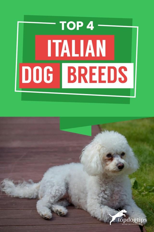 Top 4 Italian Dog Breeds