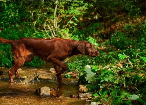 best hunting dogs irish setter