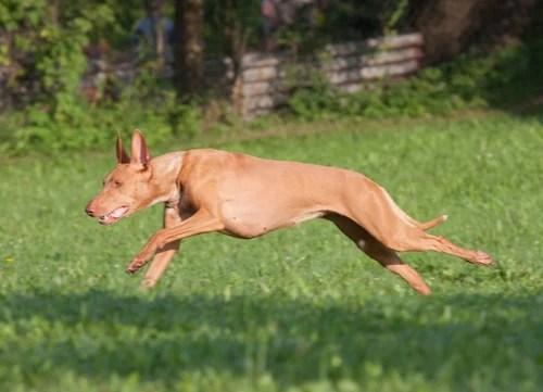 healthiest dog breed Pharaoh Hound