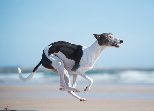 healthiest dog breeds Whippet