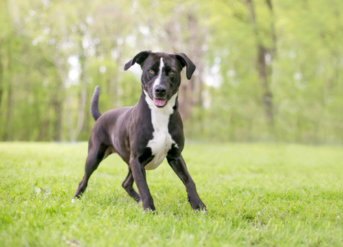mixed breed playing dangerous dog breeds