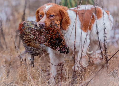 best hunting dogs brittany