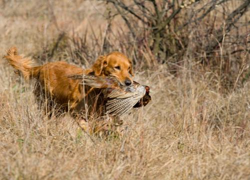 best hunting dogs golden retriever