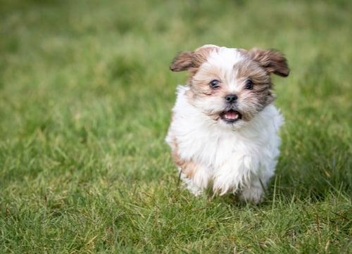 shih tzu puppy running
