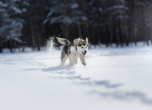 healthiest dog breeds Siberian Husky