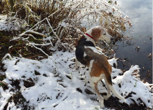 best hunting dogs Treeing Walker Coon Hound