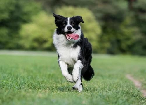 border collie healthiest small and medium dog breeds