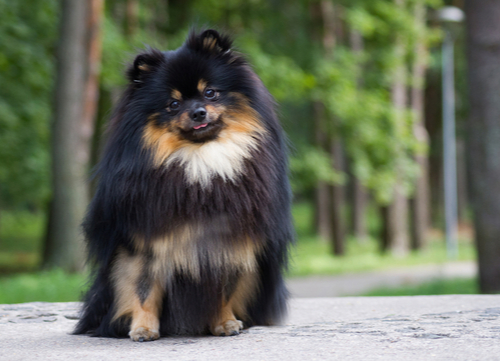 pomeranian healthiest small and medium dog breeds