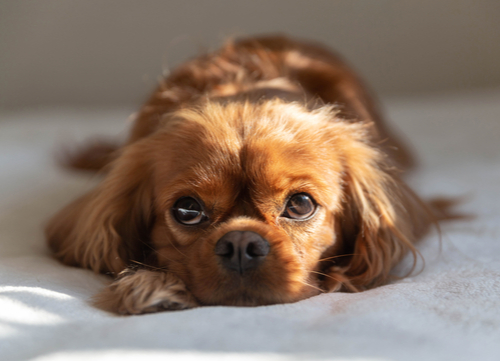 Mellow dog breeds Cavalier King Charles