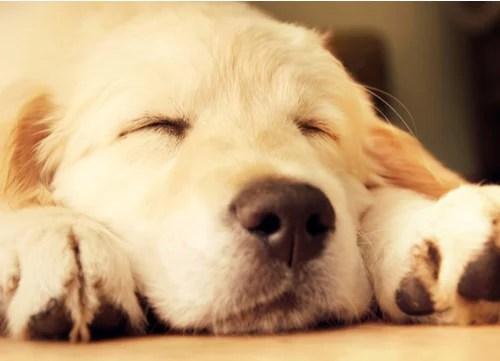 mellow dog breeds Golden Retriever