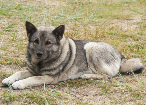 Norwegian Dog Breeds Norwegian Elkhound