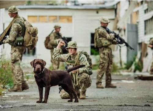 Military Dog Breed Labrador Retriever
