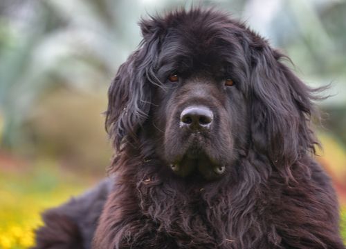 mellow dog breeds Newfoundland