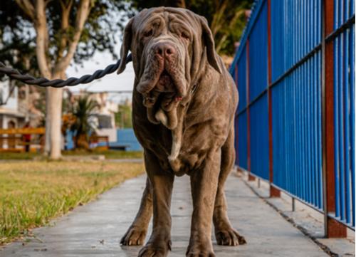 wrinkly dog breeds Neapolitan Mastiff