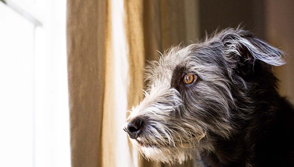 Anxiety in dog after covid